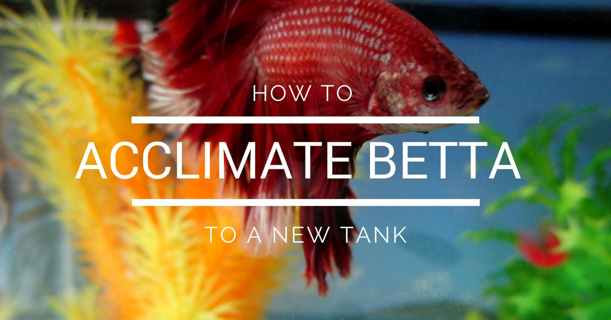acclimate betta fish