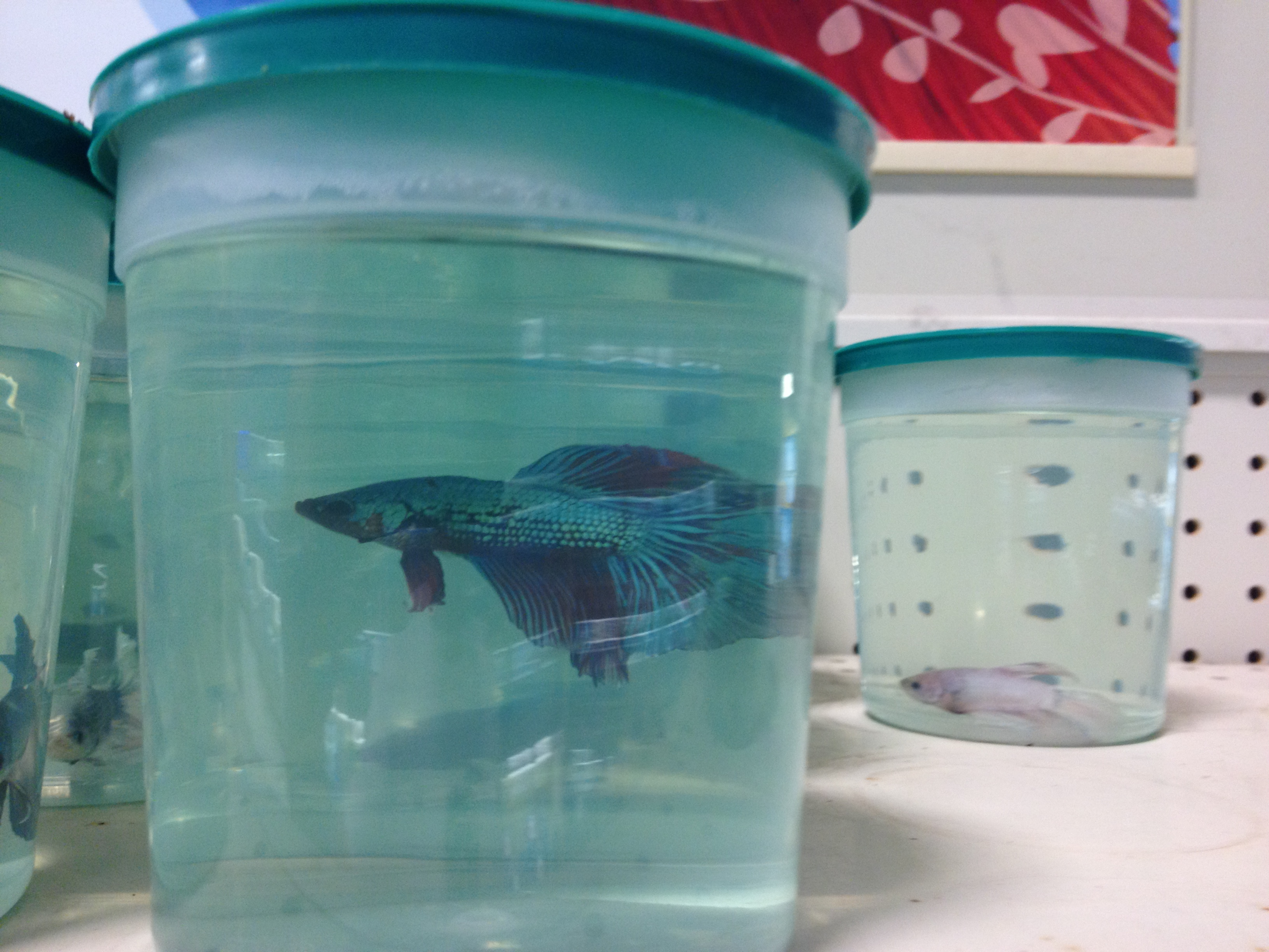 How to correctly bring your betta fish home from the pet for Fish and pet store
