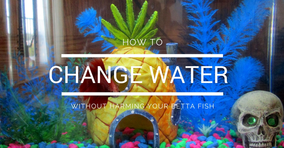 how often to change betta fish water | how to change betta fish water