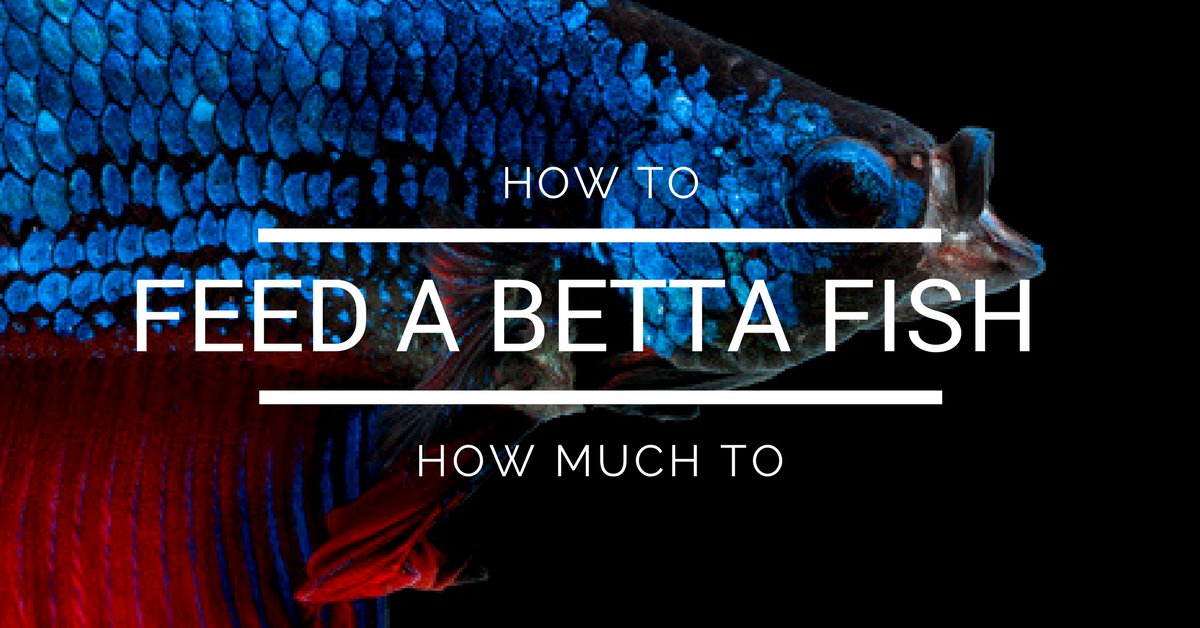 How to feed a betta fish how often to feed a betta fish for How often do i feed my betta fish