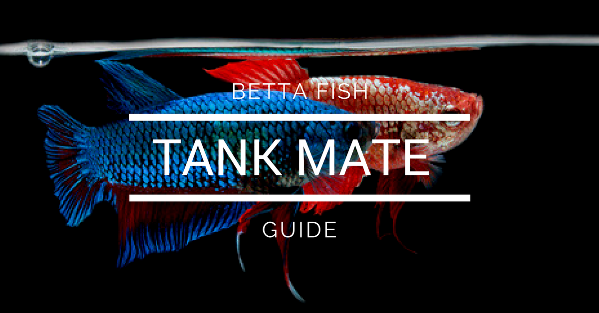 Betta Tank Mate Guide