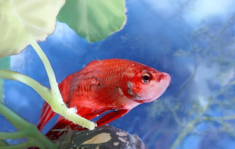 How to tell if your betta is sick and what you can do for Betta fish water temperature