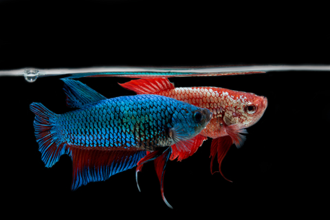 Betta tank mates your betta can live with other fish for Can betta fish live with other fish